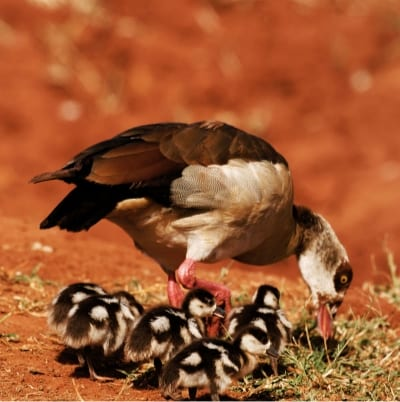 Egyptian Goose with 5 Goslings