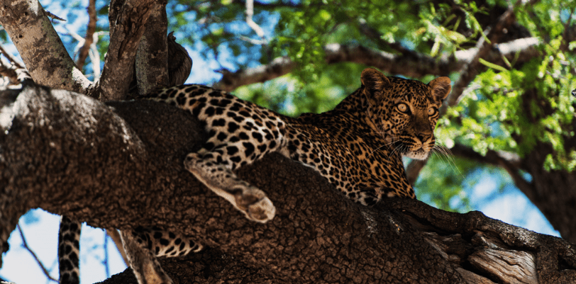 Leopard in tree, sighted during a luxury safari trip at Finch Hattons, Tsavo National Park, Kenya