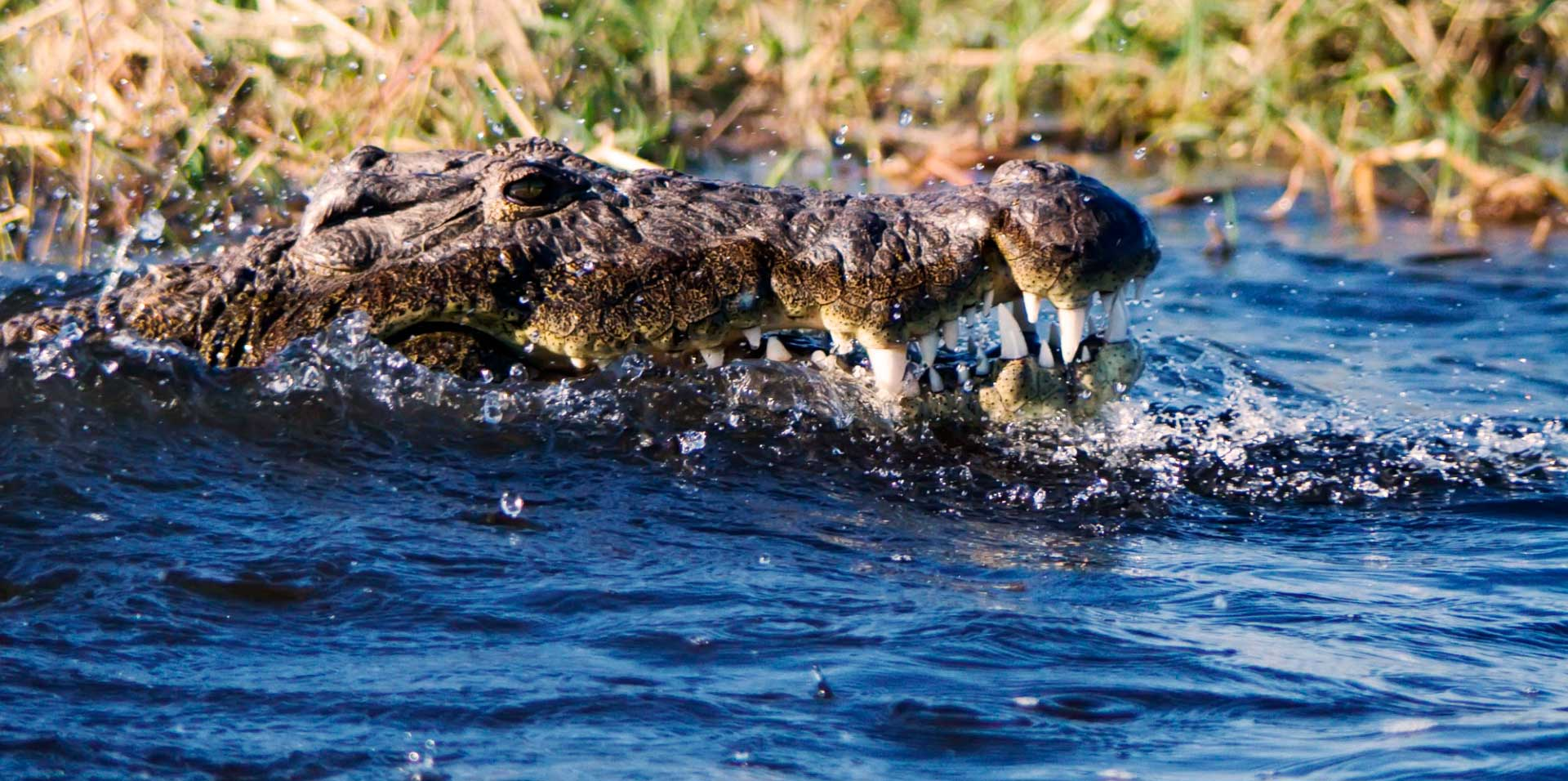 Crocodile breaching from river