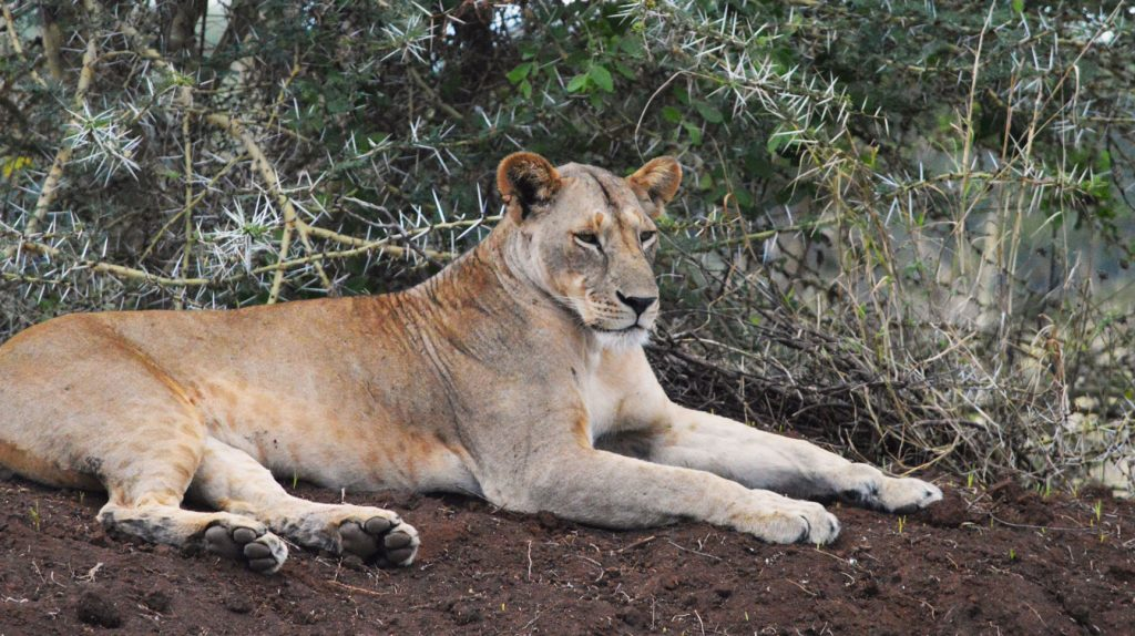 Lioness relaxing in Tsavo National Park